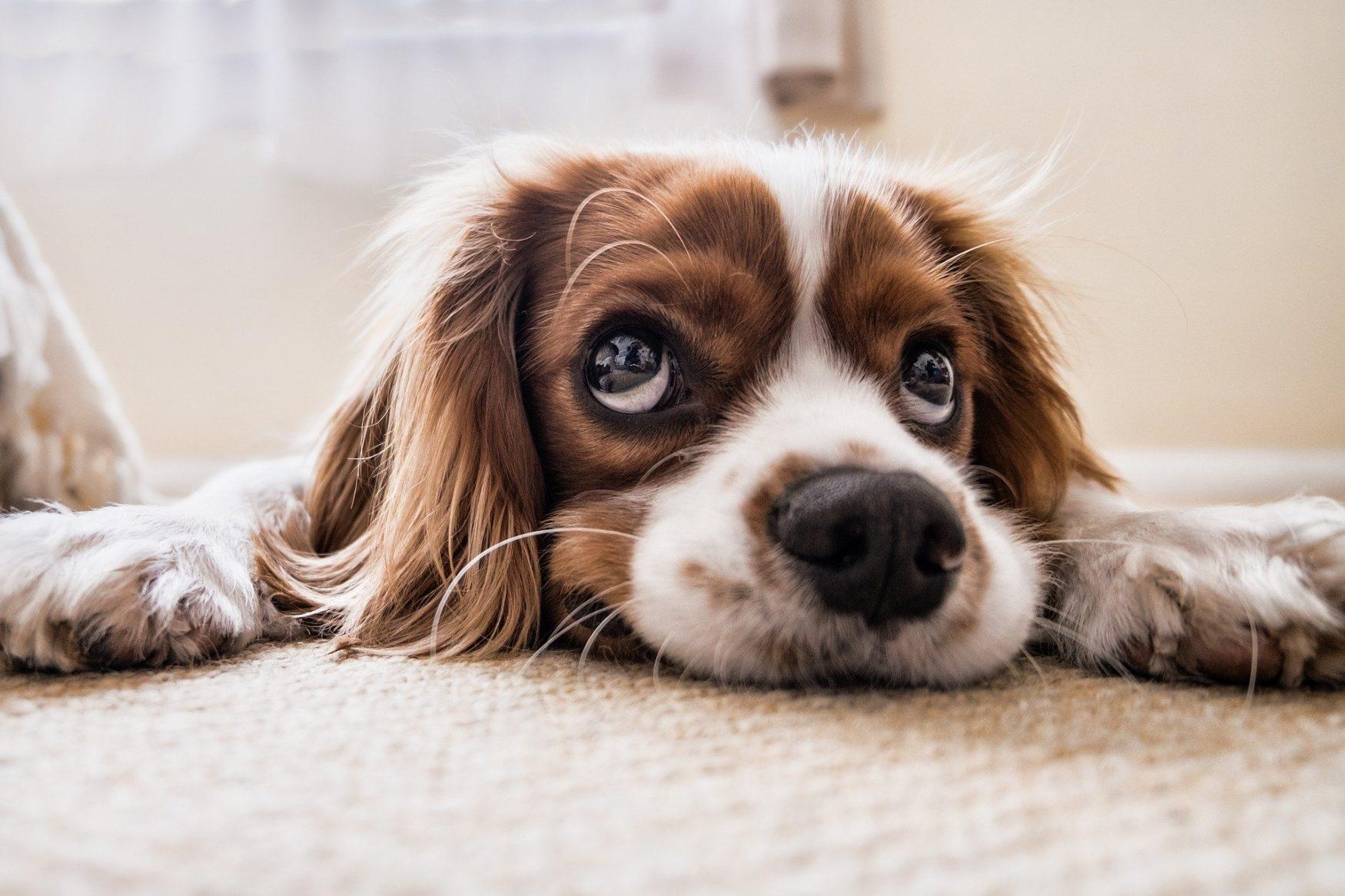 Hondenschool Utrecht hond op vloer